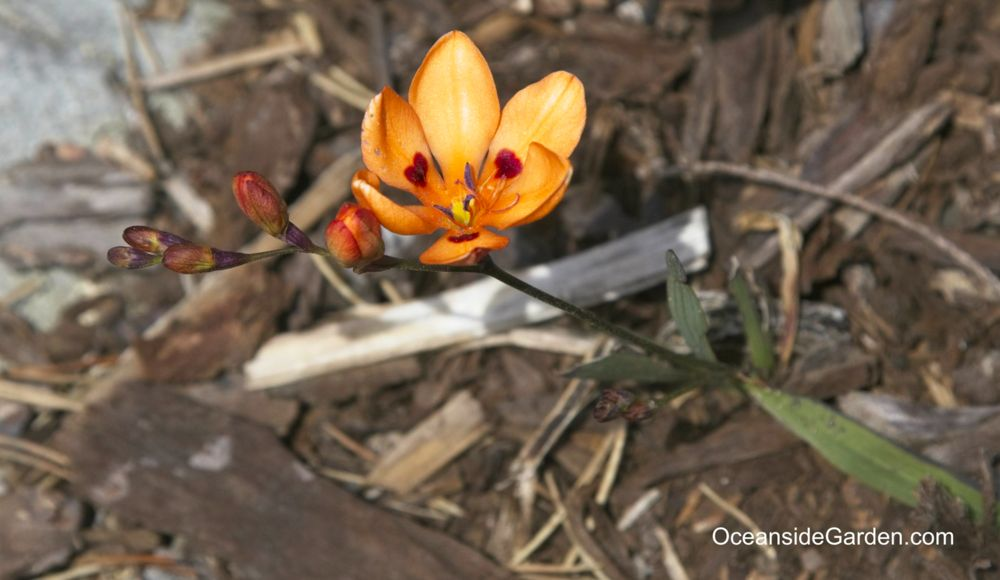 Tritonia deutsa ssp. deusta