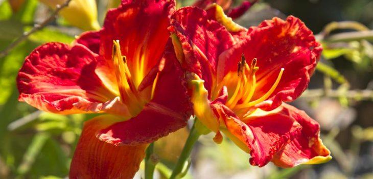 Hemerocallis 'Desert Flame'