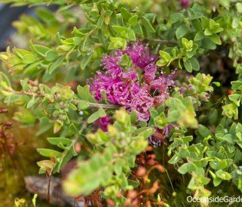 Melaleuca thymifolia 'Cotton Candy'