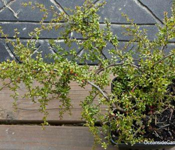 Leptospermum rupestre 'Low Form'